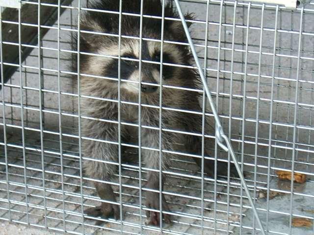 Raccoon Pack Attack -- What Handgun? [Archive] - The Firing